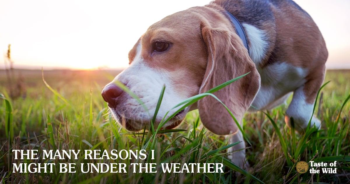 Beagle dog sniffing grass