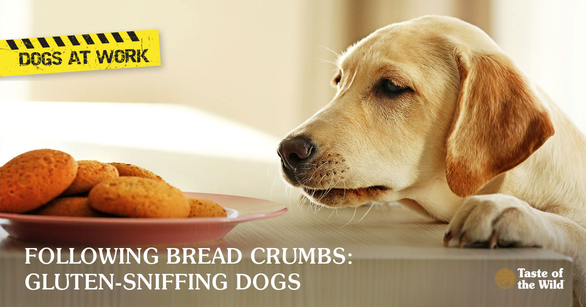 Dogs at Work: Gluten-Sniffing Dogs