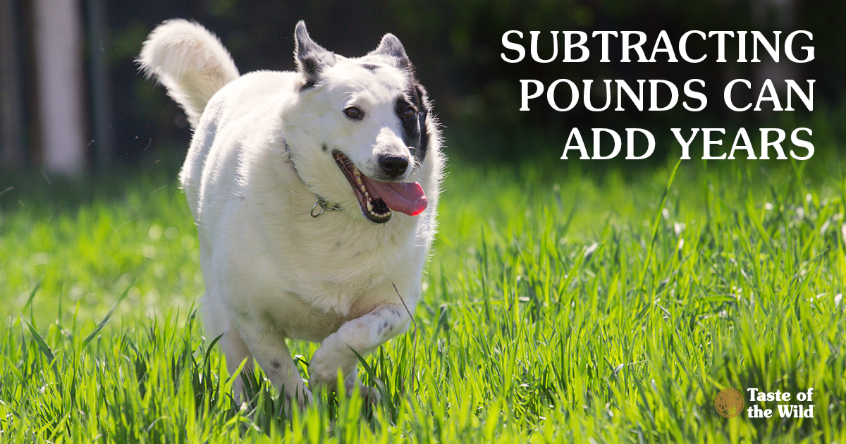 Overweight White Dog with Black Spot on Face Having Fun in the Grass | Taste of the Wild Pet Food