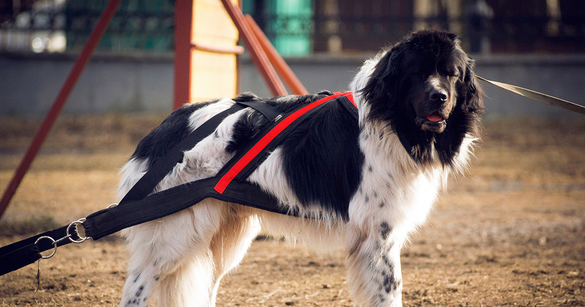 Large Breed Dog Wearing a Cart-Pulling Harness | Taste of the Wild Pet Food