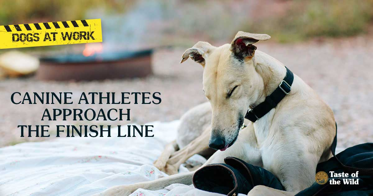 Retired Greyhound Racing Dog Resting by a Campfire | Taste of the Wild Pet Food