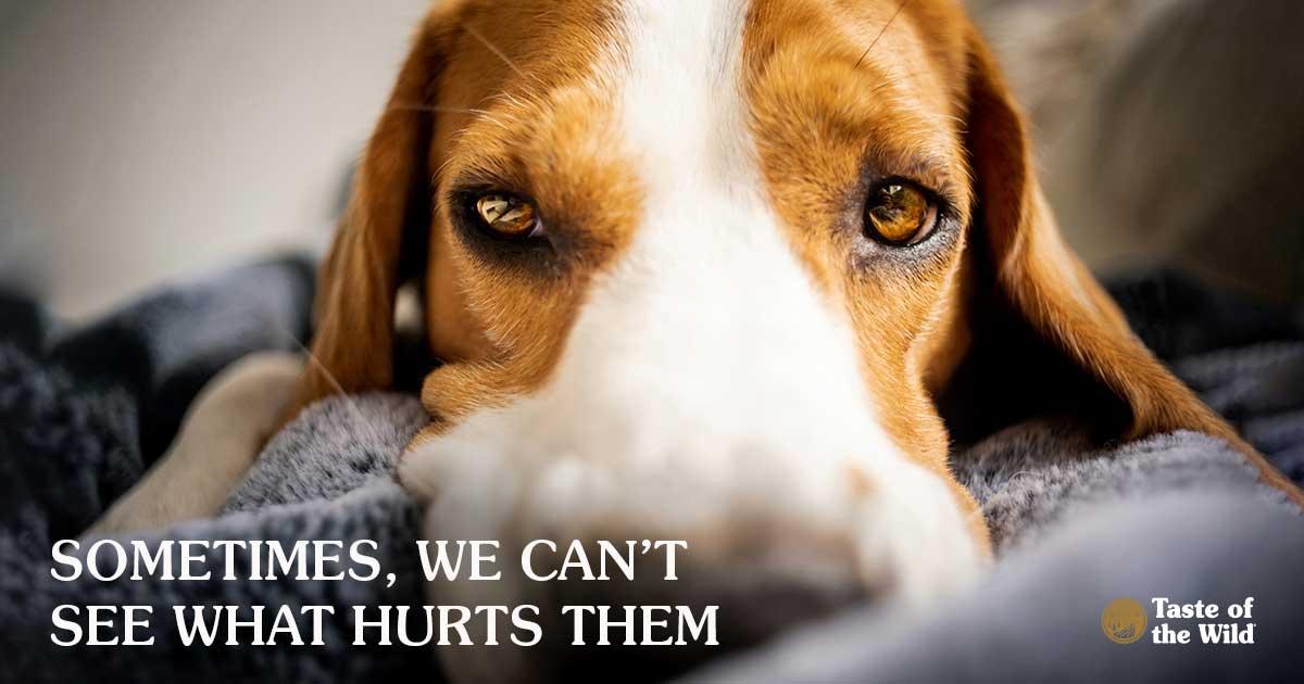 Beagle Dog Lying on a Grey Blanket | Taste of the Wild Pet Food