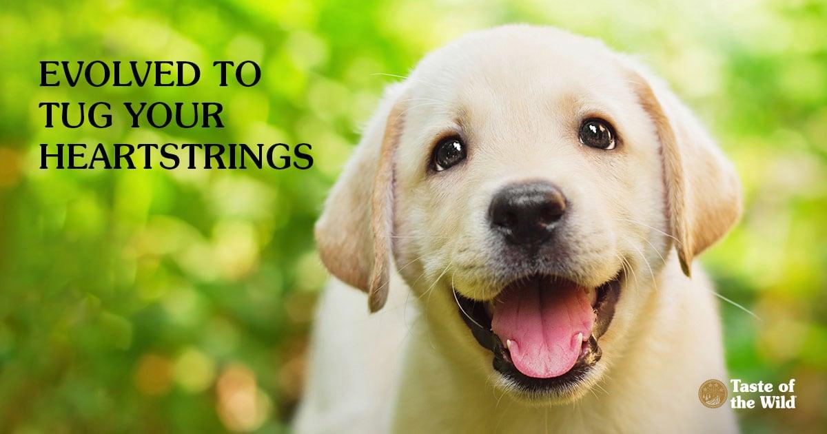 Happy Labrador Retriever Puppy in the Yard | Taste of the Wild Pet Food