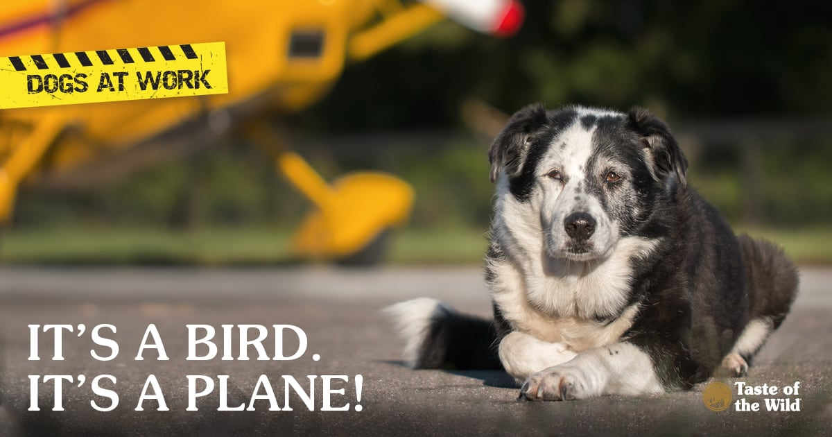Border Collie Mix Breed Dog Lying Down on Runway on the Lookout for Birds | Taste of the Wild Pet Food