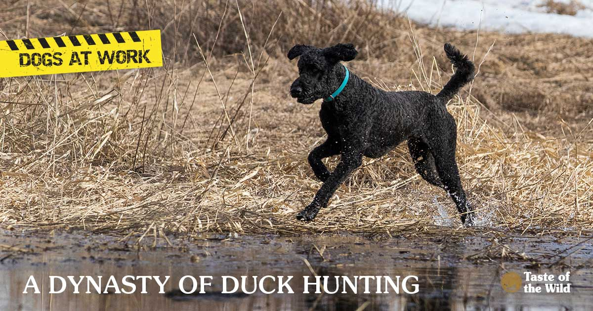 Black Poodle Running Through a Field | Taste of the Wild Pet Food