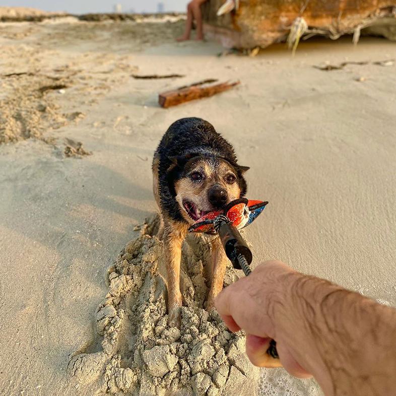Australian Cattle Dog at the Beach   Taste of the Wild