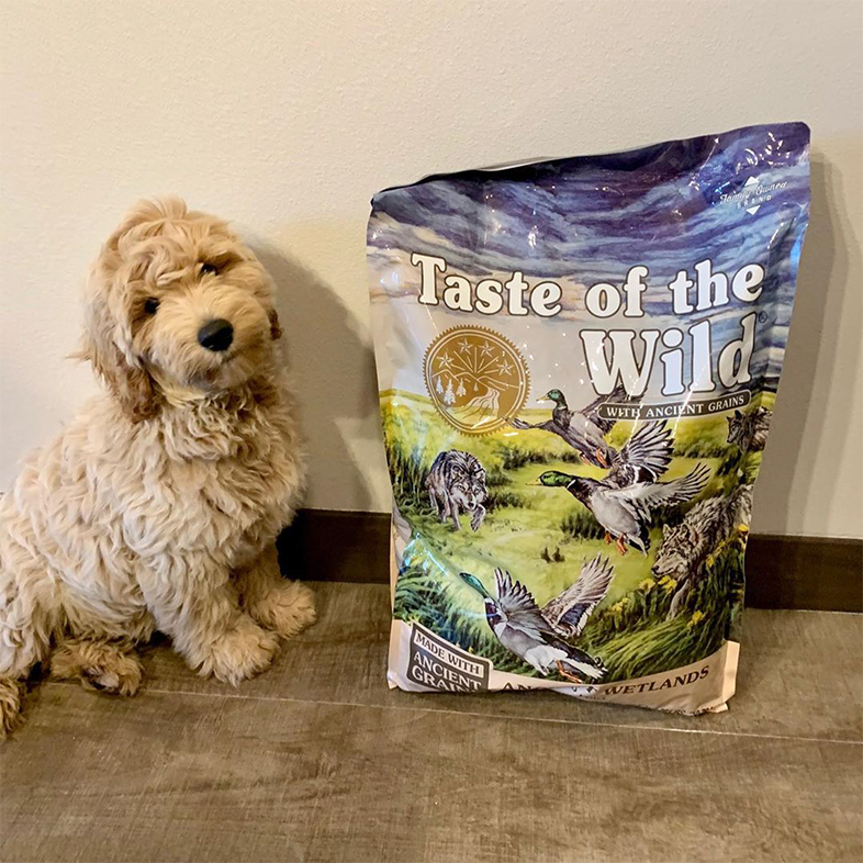 Goldendoodle Posing with Taste of the Wild with Ancient Grains Bag   Taste of the Wild