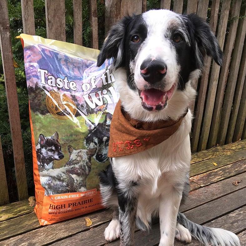 Aussie Dog Posing with Taste of the Wild Bag   Taste of the Wild