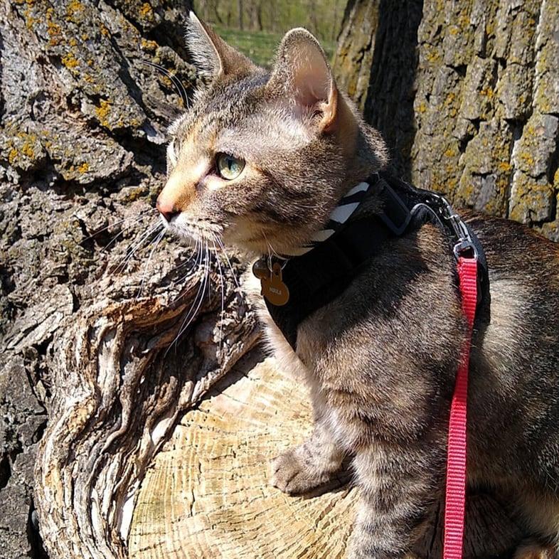 Cat Wearing Leash Sitting on Tree   Taste of the Wild