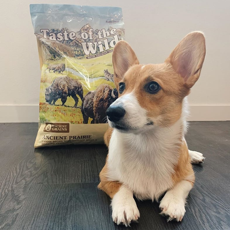 Corgi Dog Posing with Taste of the Wild with Ancient Grains Bag   Taste of the Wild
