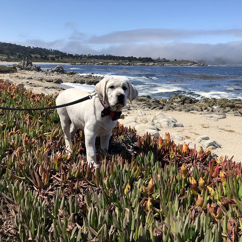 Dog Wearing Leash on the Beach   Taste of the Wild