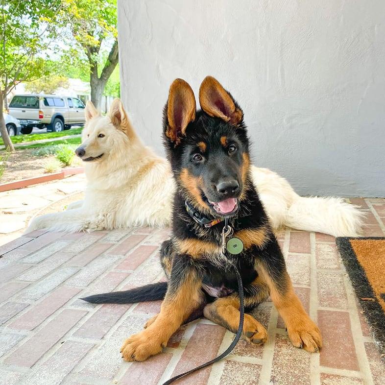 German Shepherd Sitting on Porch with Husky   Taste of the Wild