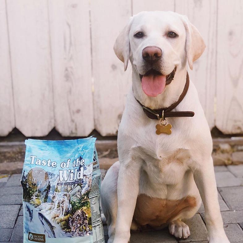 Labrador Retriever Posing With Taste Of The Wild Dog Food Bag   Taste of the Wild