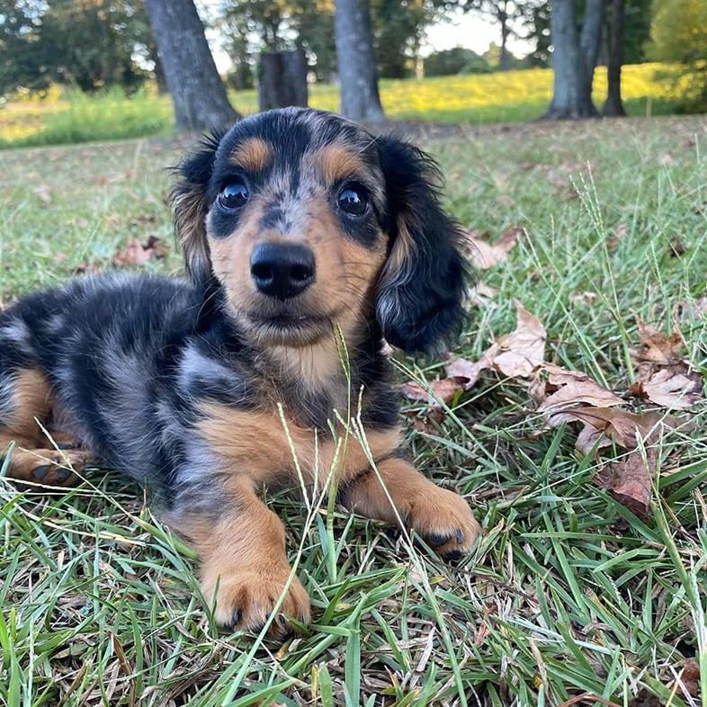 Mini Dachshund Lying in Grass   Taste of the Wild