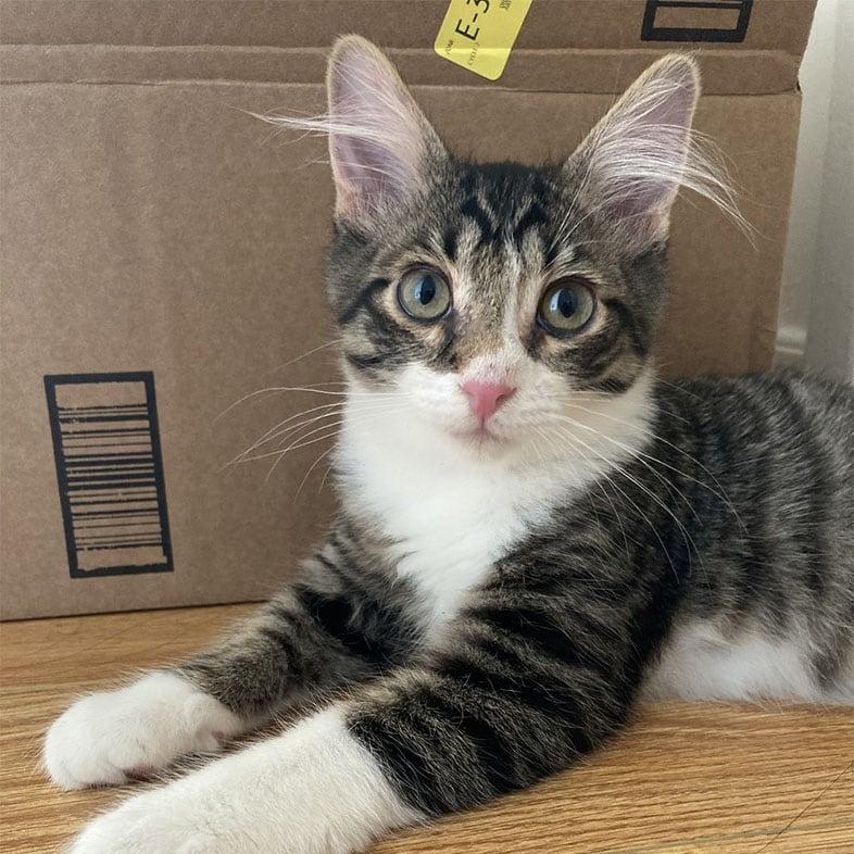 Cat Lying by Box   Taste of the Wild