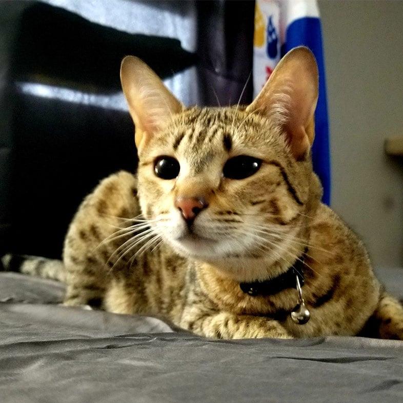 Cat Lying on Bed   Taste of the Wild