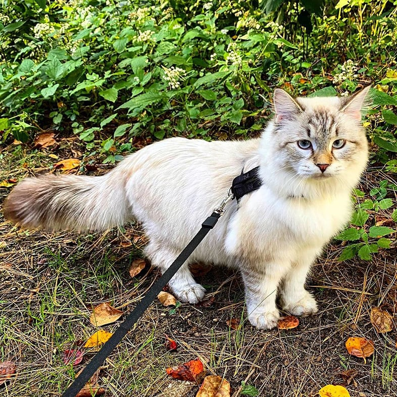 Cat With A Leash Walking Outdoors   Taste of the Wild