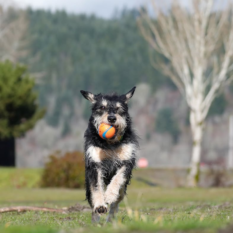 Dog Running With Ball In Mouth   Taste of the Wild