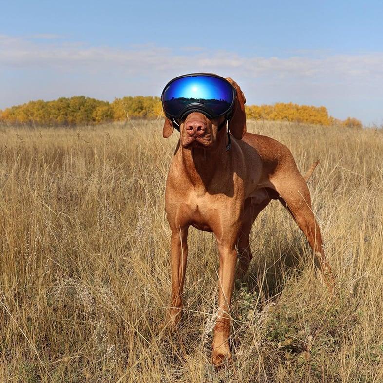 Dog Wearing Ski Goggles   Taste of the Wild