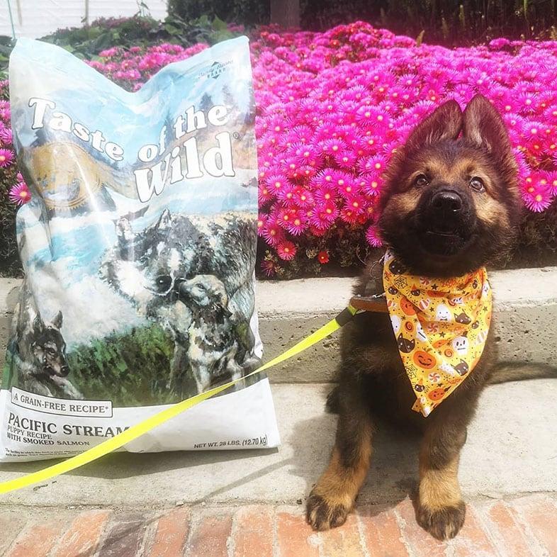 German Shepherd Puppy with Taste of the Wild Dog Food Bag   Taste of the Wild