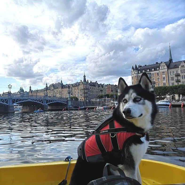 Husky on a Boat   Taste of the Wild