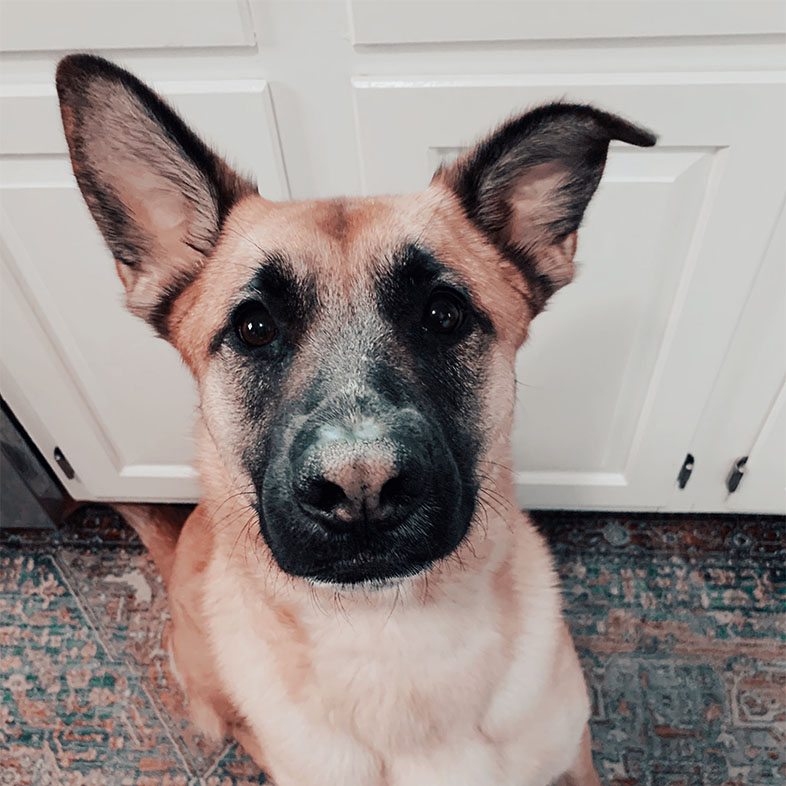 Belgian Malinois Mix Dog Looking Up at the Camera   Taste of the Wild
