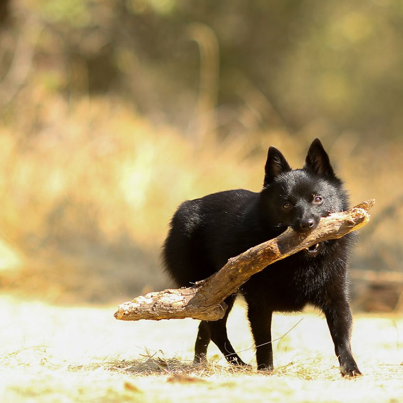 Black Schipperke Dog Running with a Stick   Taste of the Wild