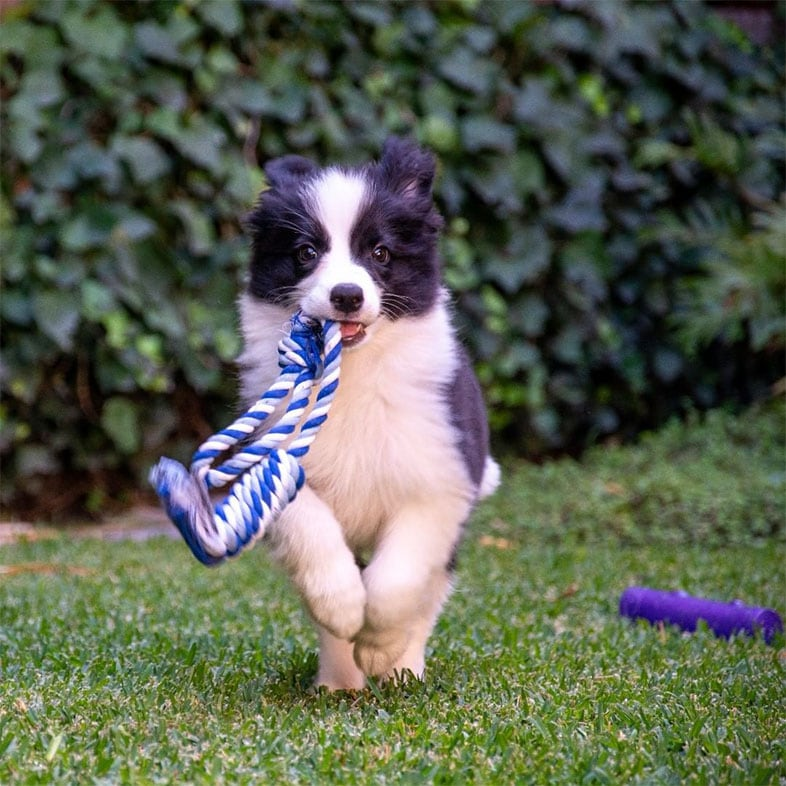 Border Collie Dog Running with Rope Toy in Mouth   Taste of the Wild