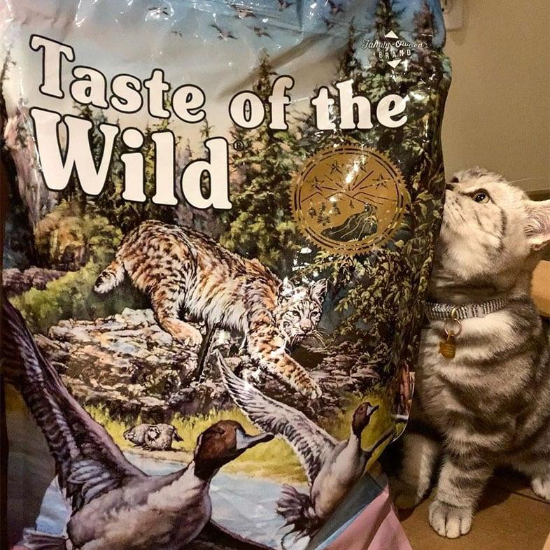 Cat Looking at Taste of the Wild Cat Food Bag   Taste of the Wild