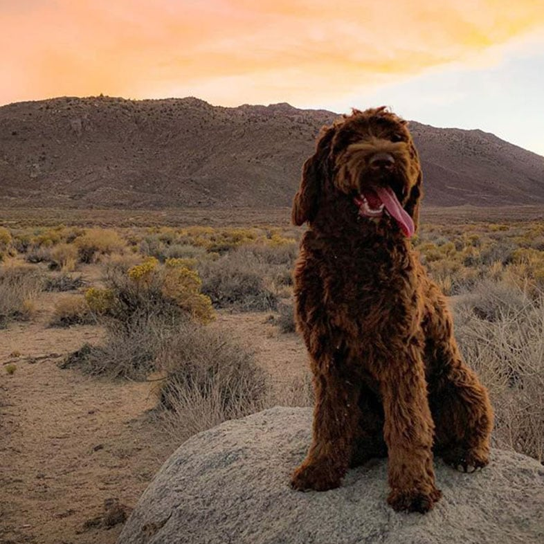 Chocolate Australian Labradoodle Dog Standing on a Rock   Taste of the Wild