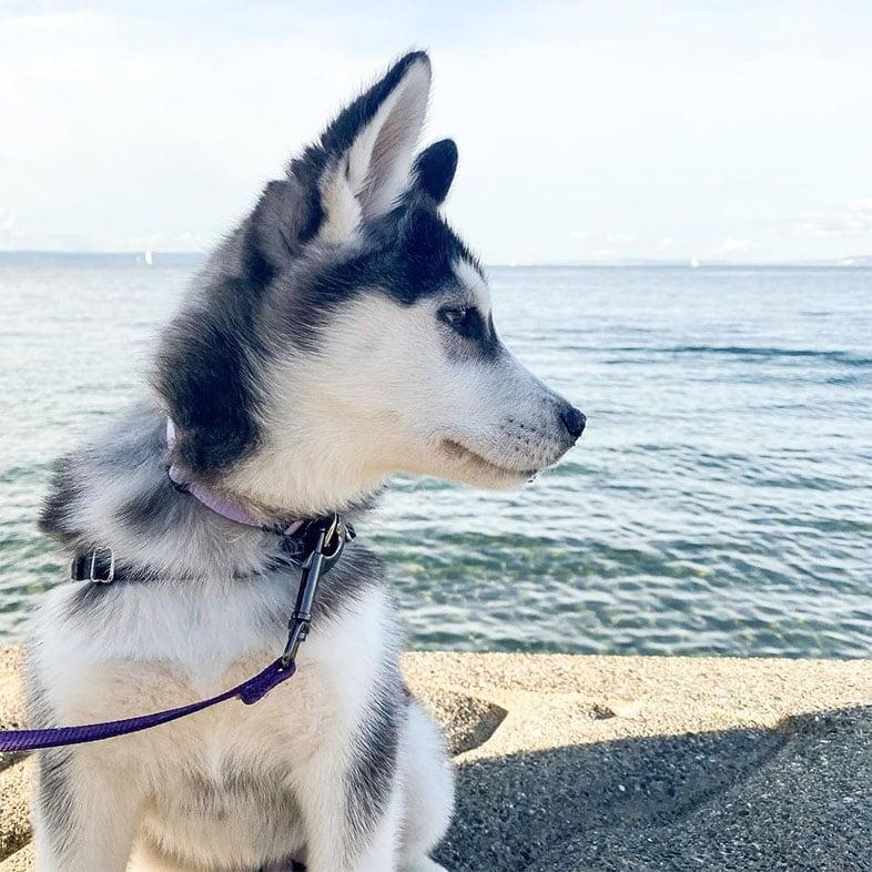 Husky Dog by Body of Water   Taste of the Wild