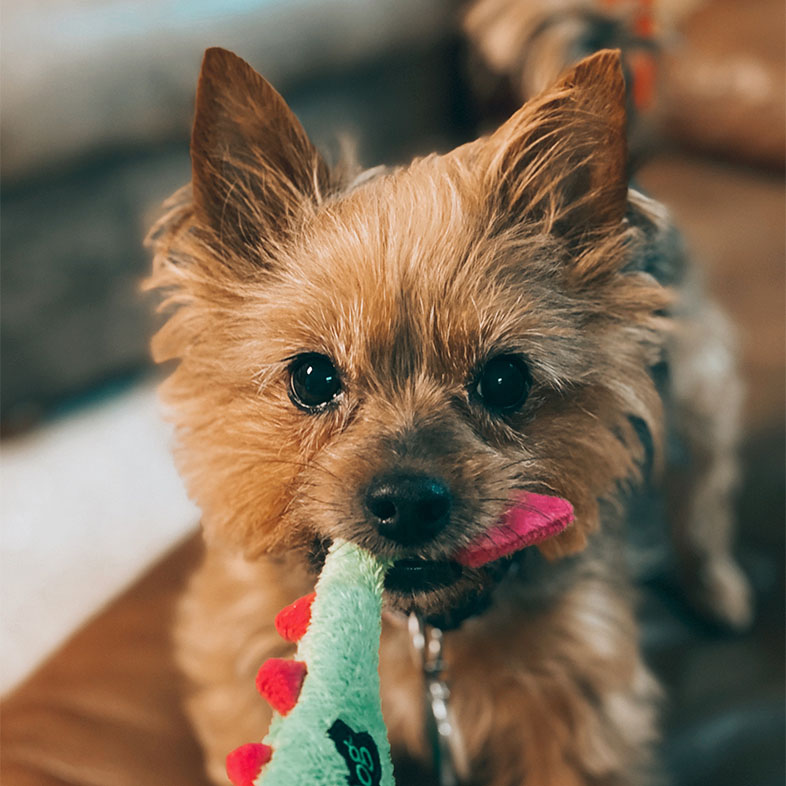 Silky Terrier Dog Pulling on a Toy   Taste of the Wild