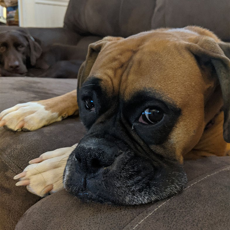 Boxer Lying on Couch   Taste of the Wild
