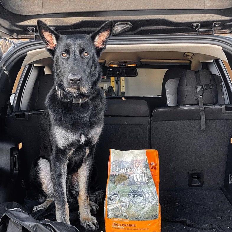 German Shepherd Dog Sitting in the Trunk of Car with Taste of the Wild Dog Food Bag   Taste of the Wild