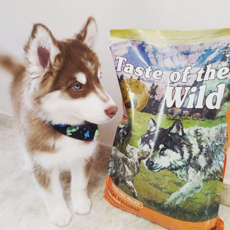 Husky Dog Looking at Taste of the Wild Dog Food Bag   Taste of the Wild
