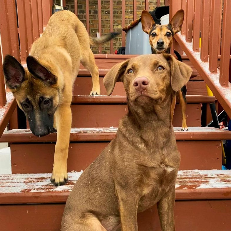 Labrador Mixed Breed Dog with a Miniature Pinscher Dog and a German Shepherd Dog on Stairs   Taste of the Wild