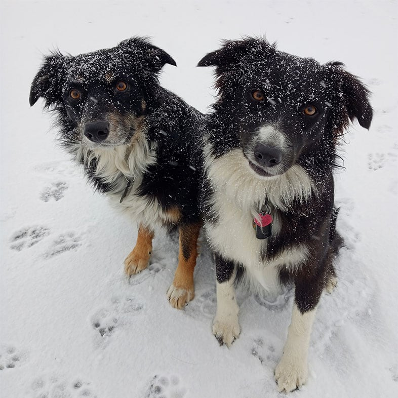 Two Dogs Sitting in Snow   Taste of the Wild