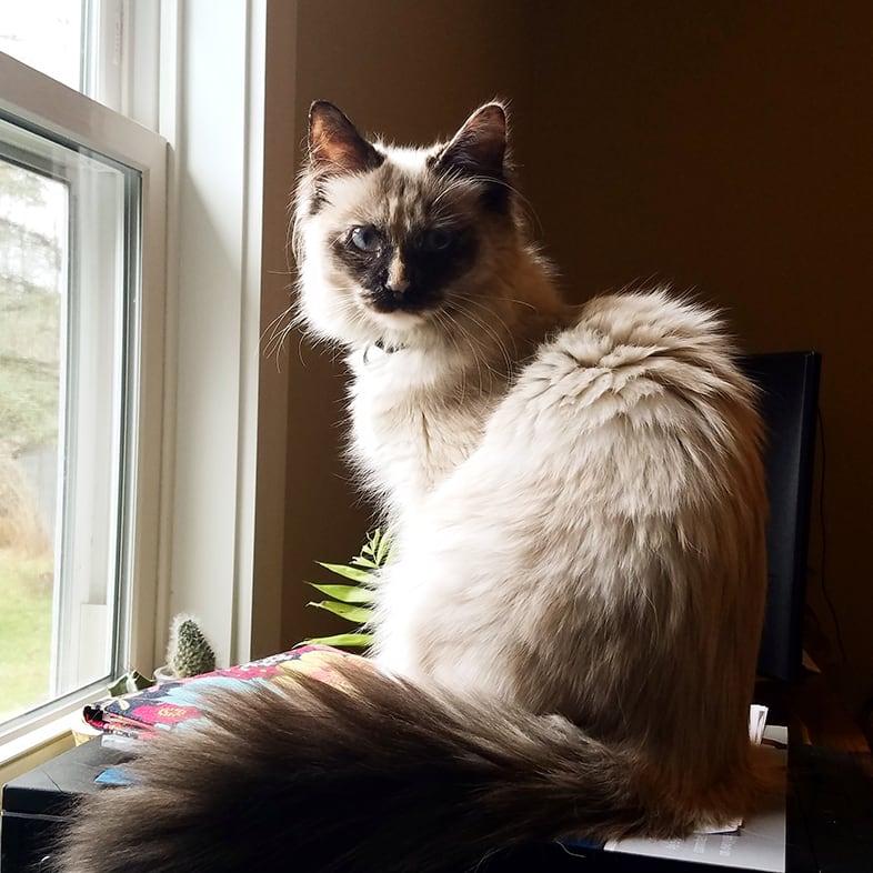 Cat Sitting on a Desk by a Window   Taste of the Wild