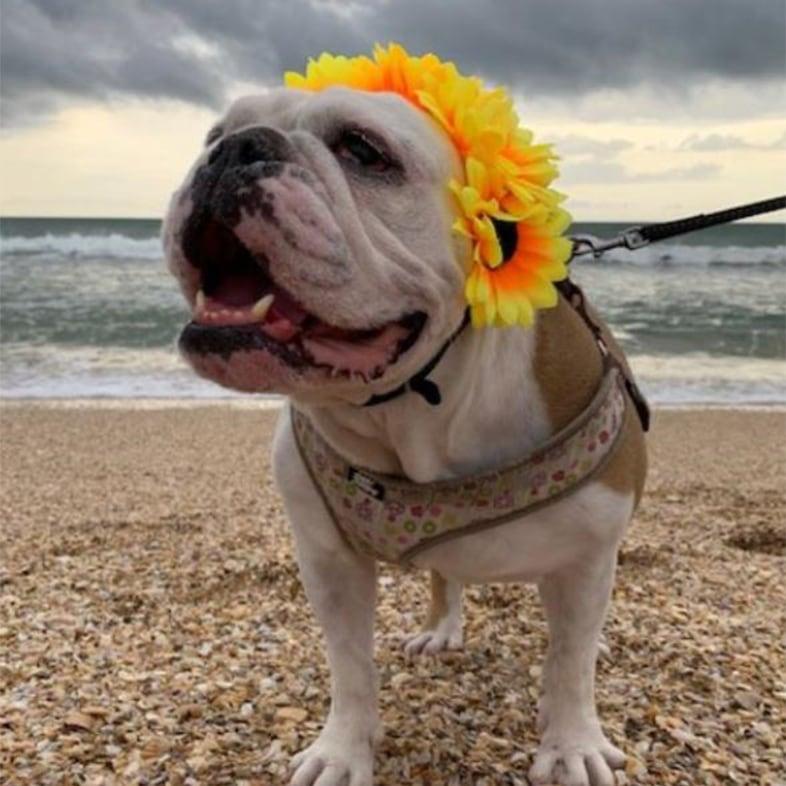 English Bulldog at the Beach Wearing Flower Headdress   Taste of the Wild
