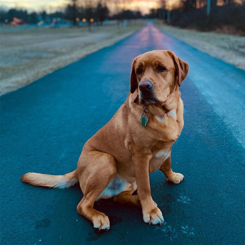 Golden Retriever Dog Sitting on Road in Front of Sunset   Taste of the Wild