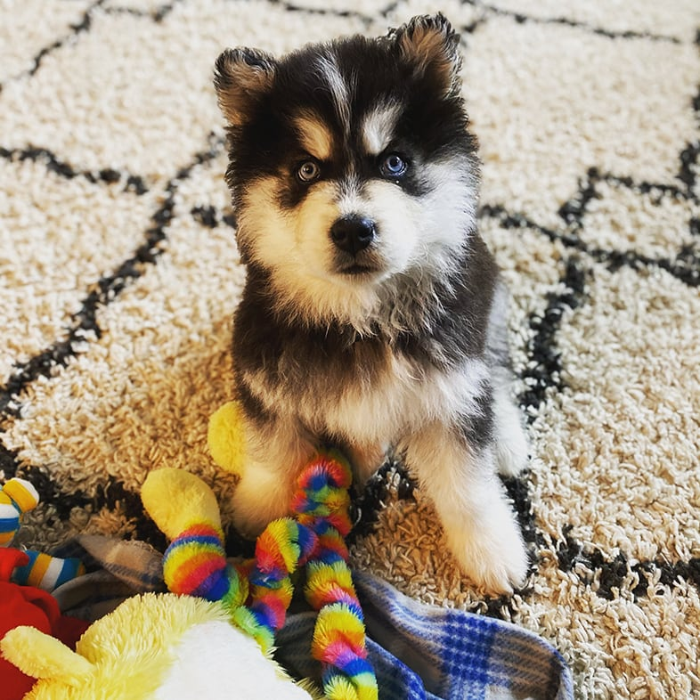 Siberian Husky Dog Looking Up with Toys   Taste of the Wild