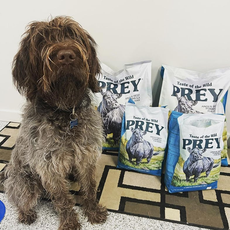 Wirehaired Pointing Gr Sitting Next to Four Taste of the Wild PREY Food Bags   Taste of the Wild
