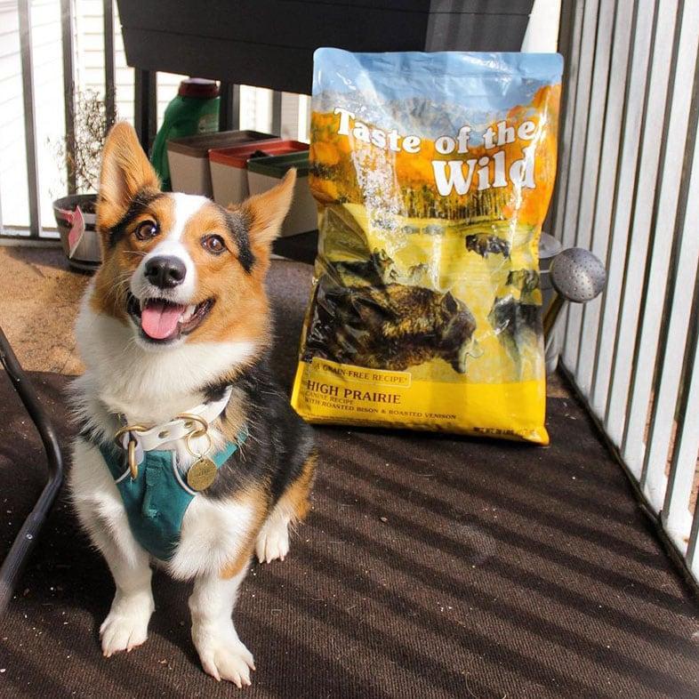 Corgi Dog Sitting Next to Taste of the Wild Food Bag   Taste of the Wild