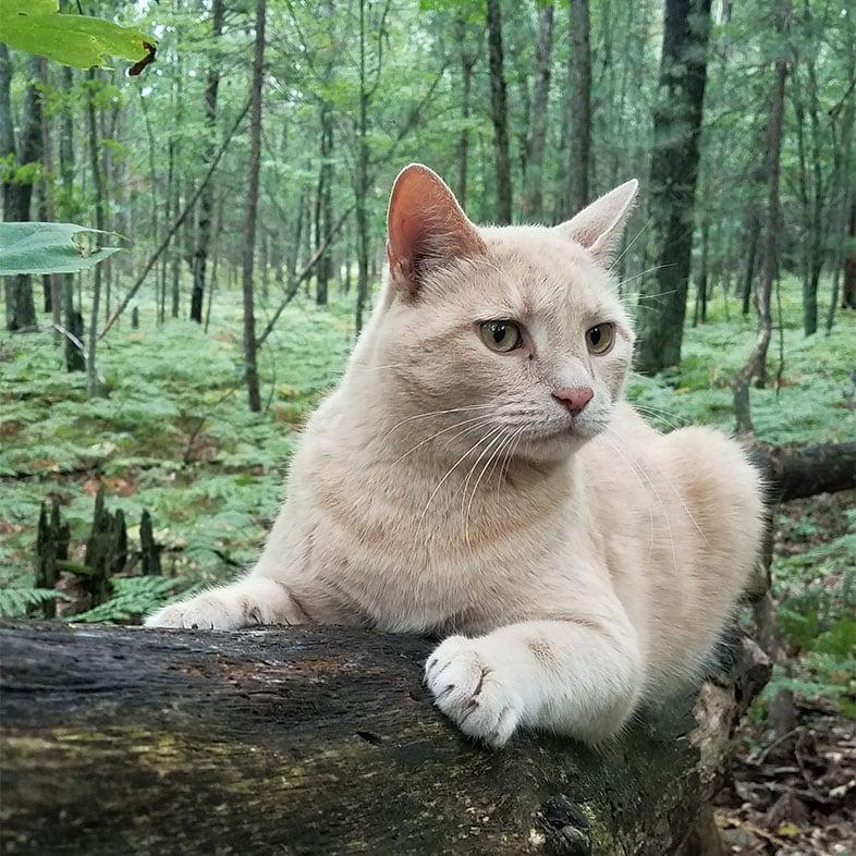 Shorthair Cat Lying on Tree   Taste of the Wild