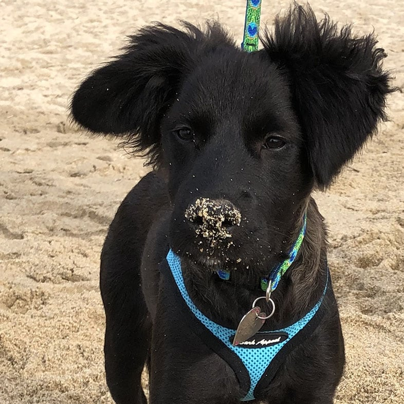 Mixed Breed Black Dog with Sand on Nose   Taste of the Wild