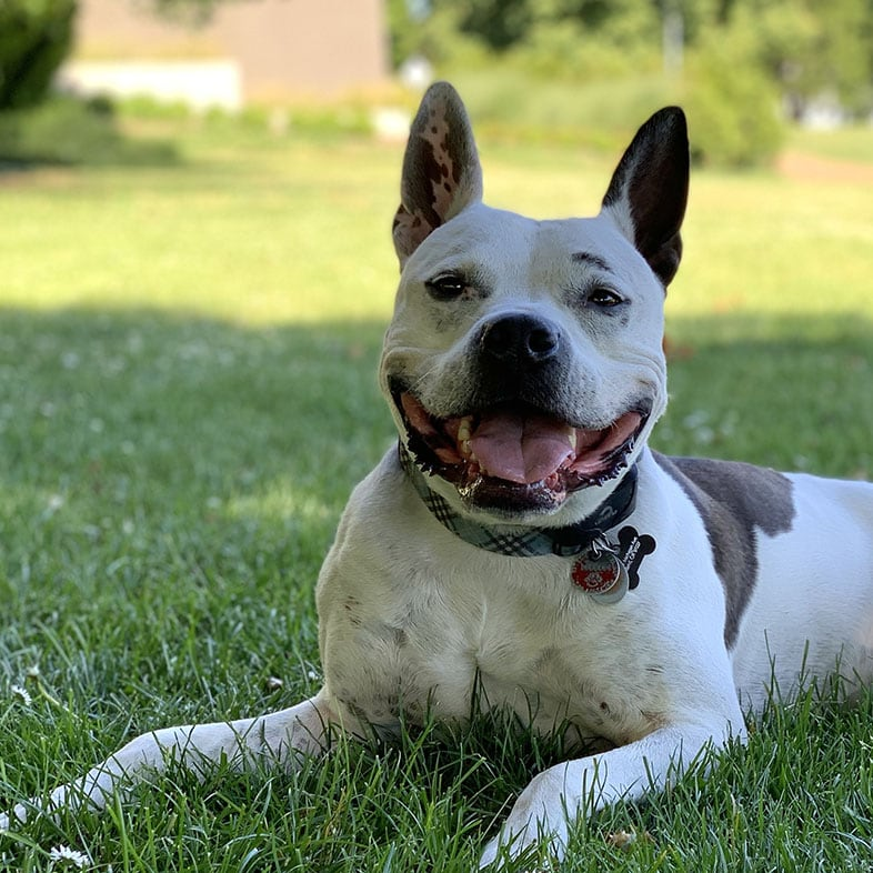 Pitty Dog Lying on Grass with Tongue Out   Taste of the Wild