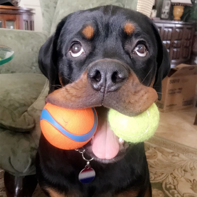Rottweiler Dog with Two Toys in Mouth   Taste of the Wild