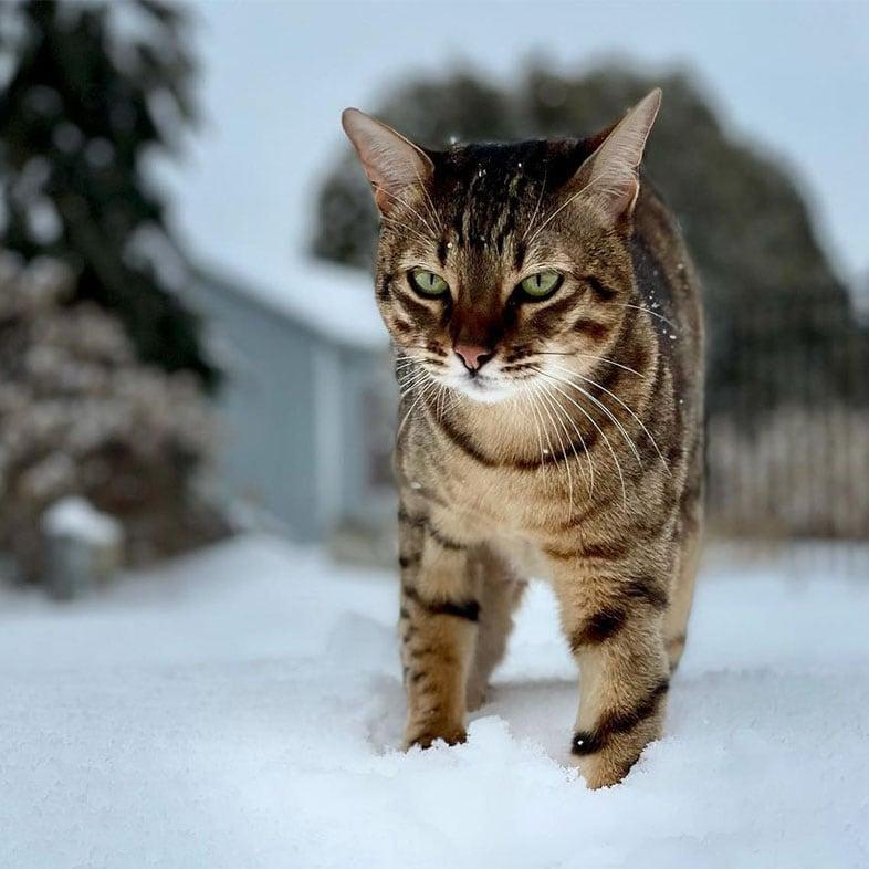 Savannah Cat Standing on the Snow   Taste of the Wild