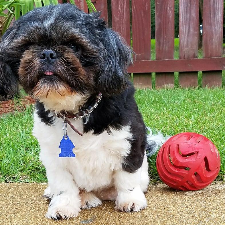 Shih Tzu Dog Sitting Next to Red Ball Toy   Taste of the Wild
