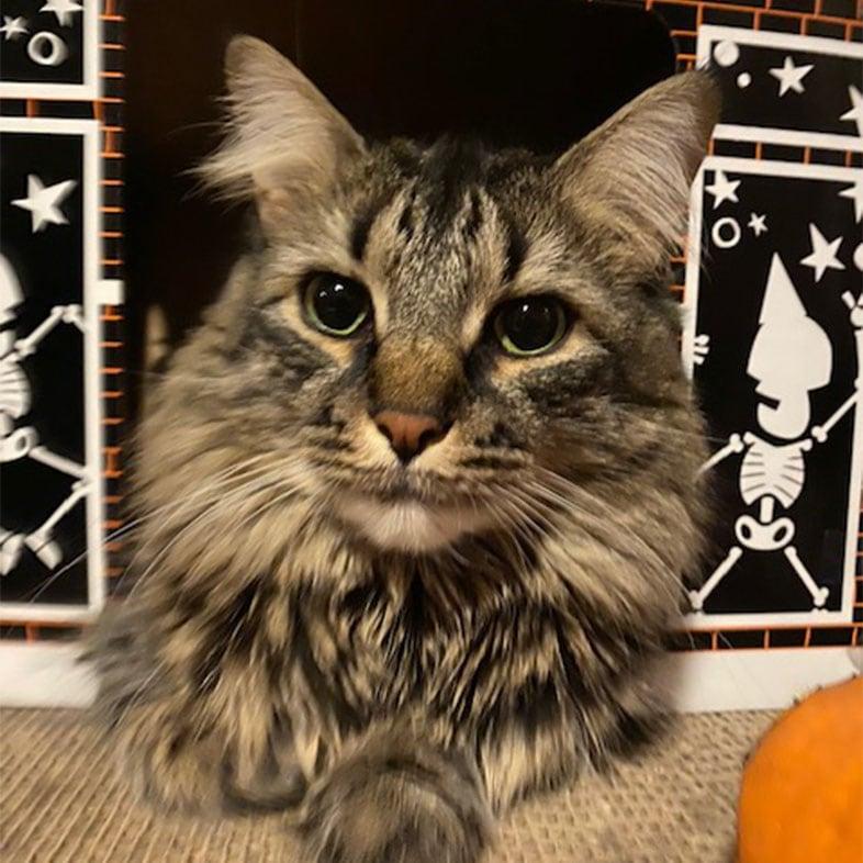 Tabby Coon Cat Lying on Floor   Taste of the Wild